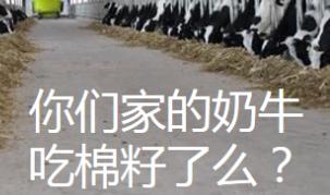 你们家的奶牛吃棉籽了么?